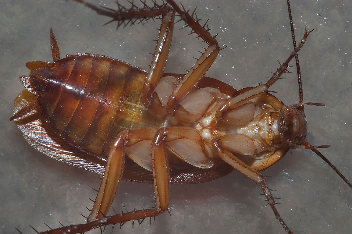 Cockroach (ventral view) in an apartment on George Bush Dr.. College Station, Texas