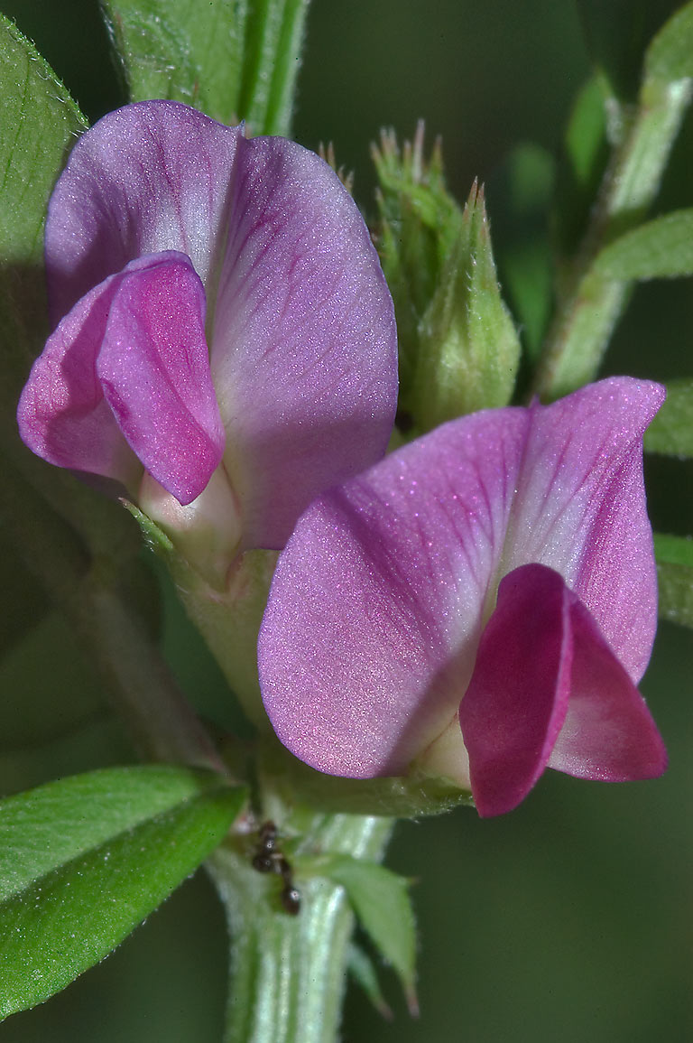 Winter vetch in TAMU Holistic Garden in Texas A&M University. College Station, Texas