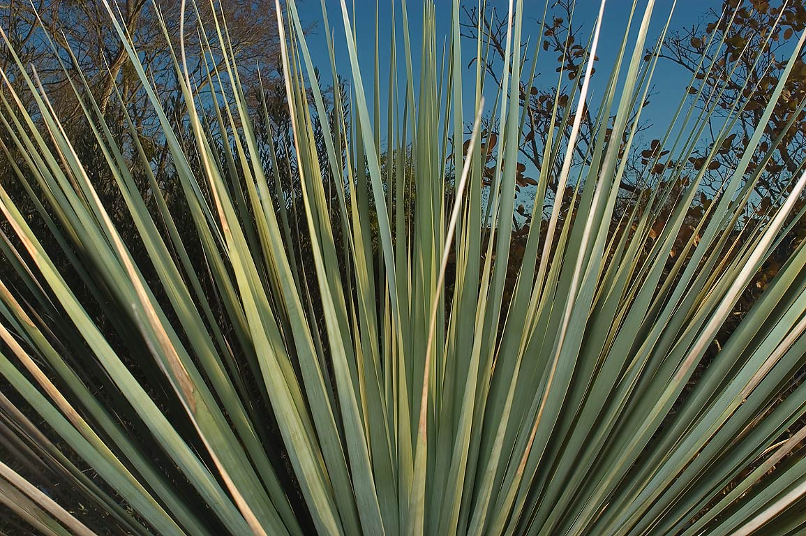 Leaves of yucca in TAMU Horticultural Gardens in...M University. College Station, Texas