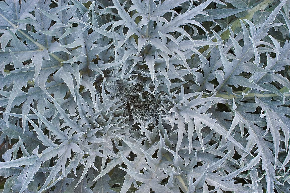 Rosette of leaves of artichoke (Cynara...M University. College Station, Texas