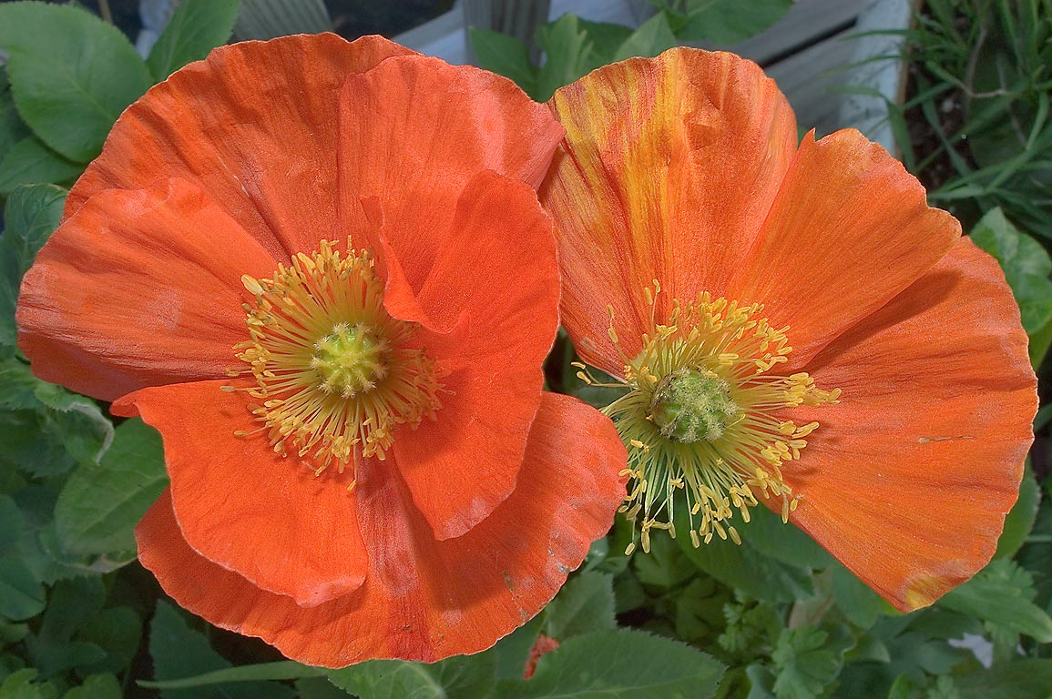 Orange Iceland poppy flowers in TAMU Holistic...M University. College Station, Texas