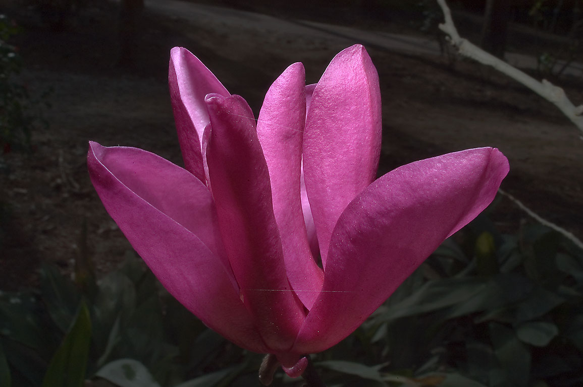 Purple flower of Japanese magnolia in Mercer...Gardens. Humble (Houston area), Texas