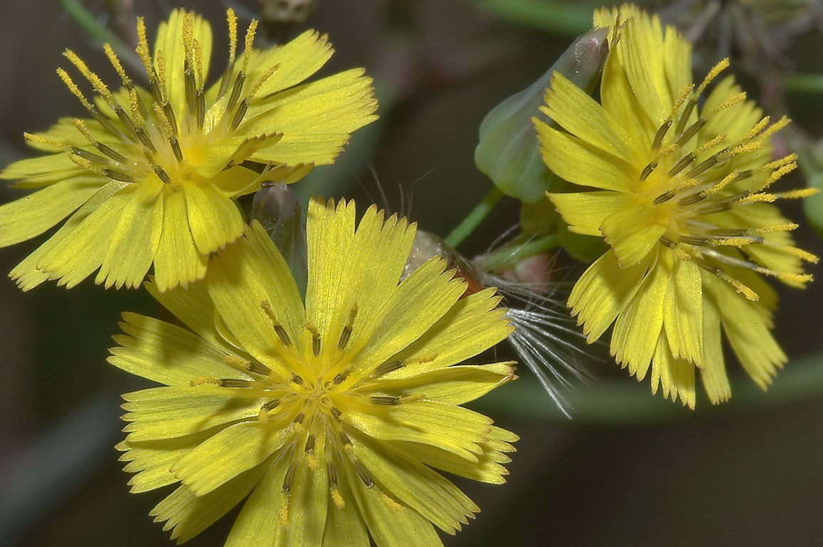 Yellow flowers of hawkweed (Hieracium) in Mercer...Gardens. Humble (Houston area), Texas
