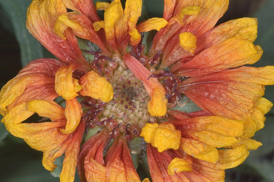 Firewheel like flower in TAMU Horticultural...M University. College Station, Texas