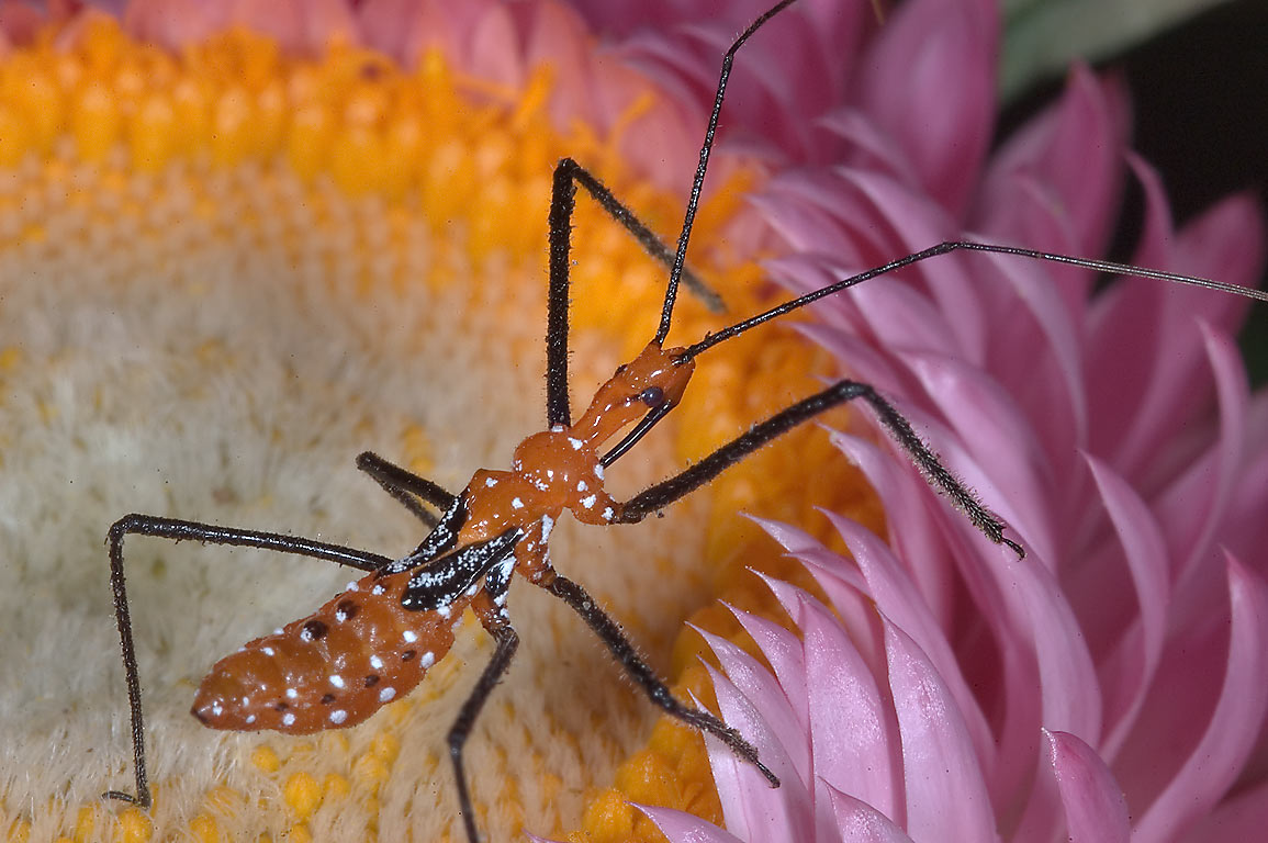 Milkweed assassin bug nymph (Zelus longipes) on a...M University. College Station, Texas