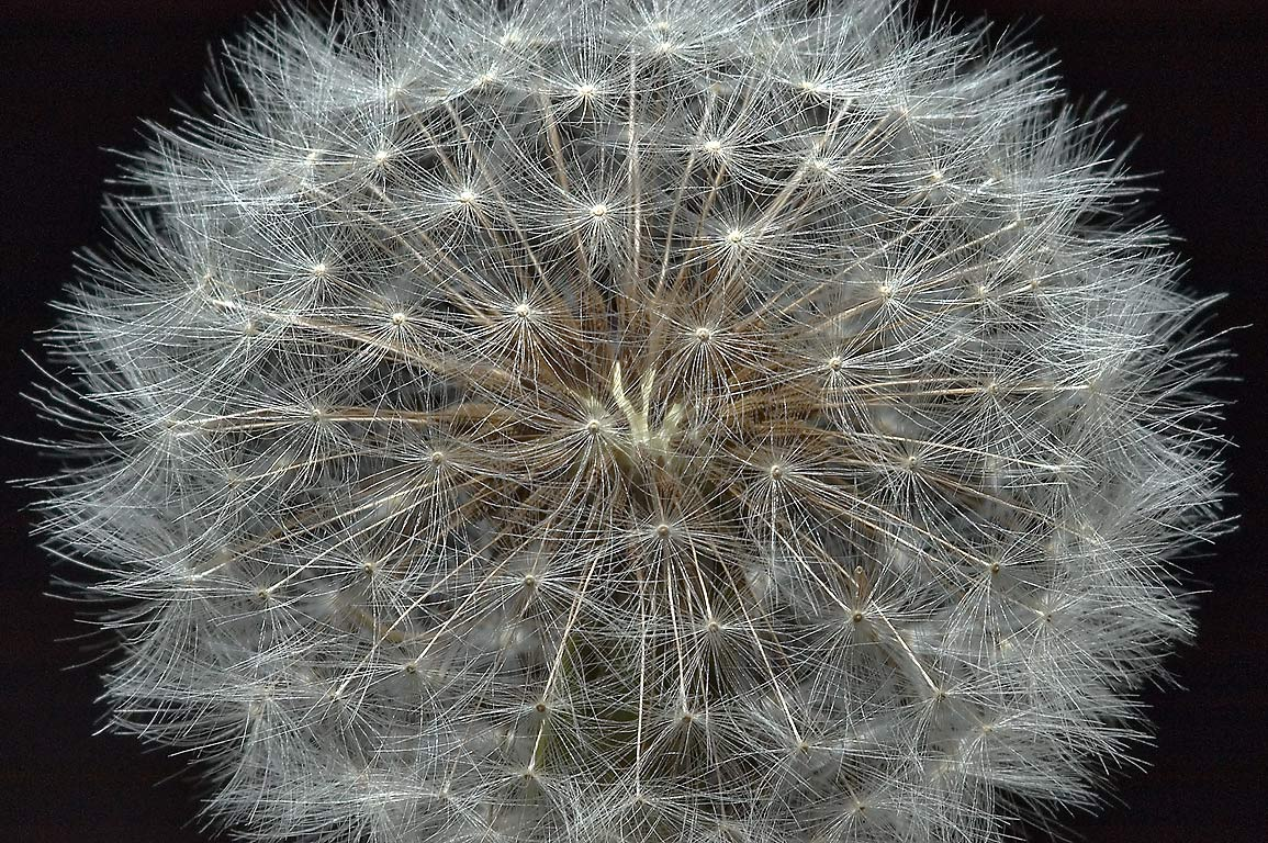 Seed head of common dandelion in TAMU...M University. College Station, Texas