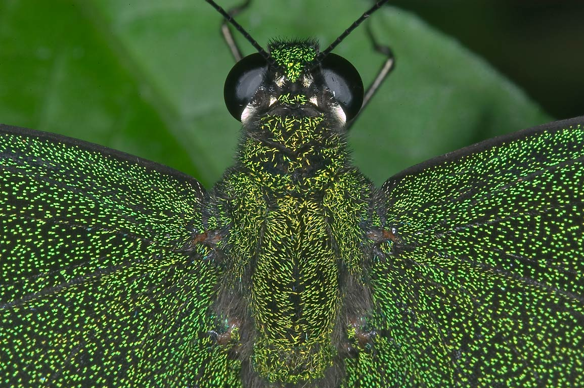 Close-up of Emerald Swallowtail (Papilio...of Natural Science. Houston, Texas