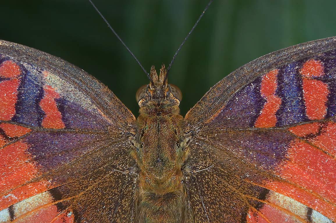 Close-up of Red Peacock Butterfly (Anartia...of Natural Science. Houston, Texas