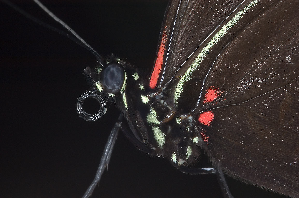Close-up of a black and red butterfly in Cockrell...of Natural Science. Houston, Texas