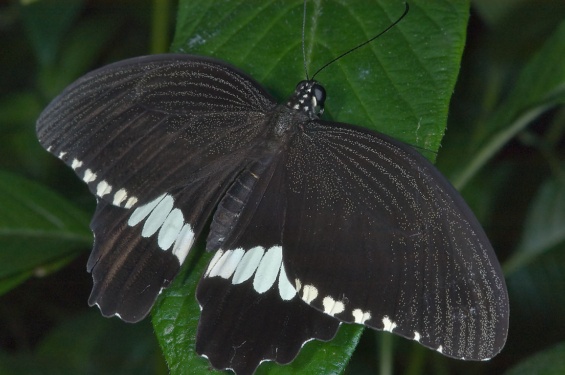 Black butterfly with white stripes in Cockrell...of Natural Science. Houston, Texas
