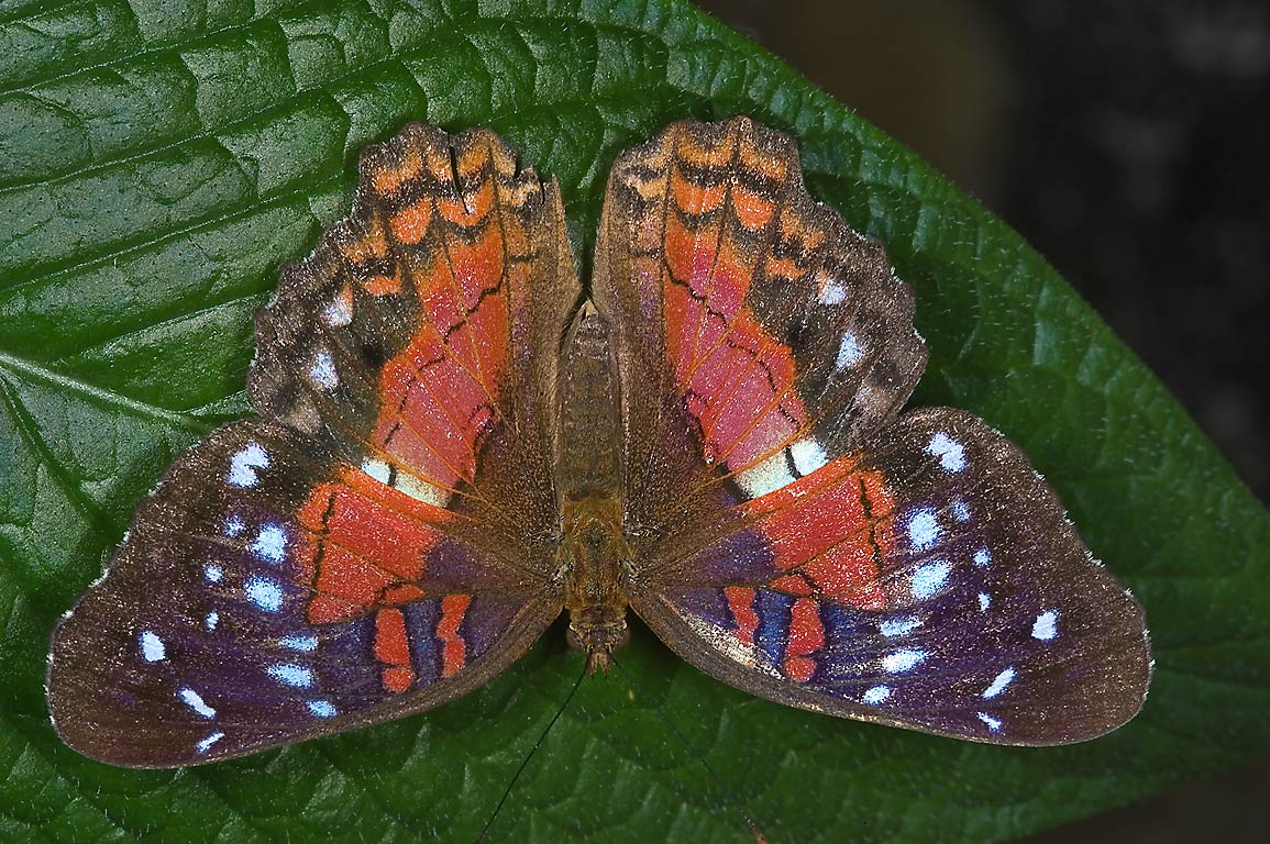 Red Peacock Butterfly (Anartia amathea) in...of Natural Science. Houston, Texas
