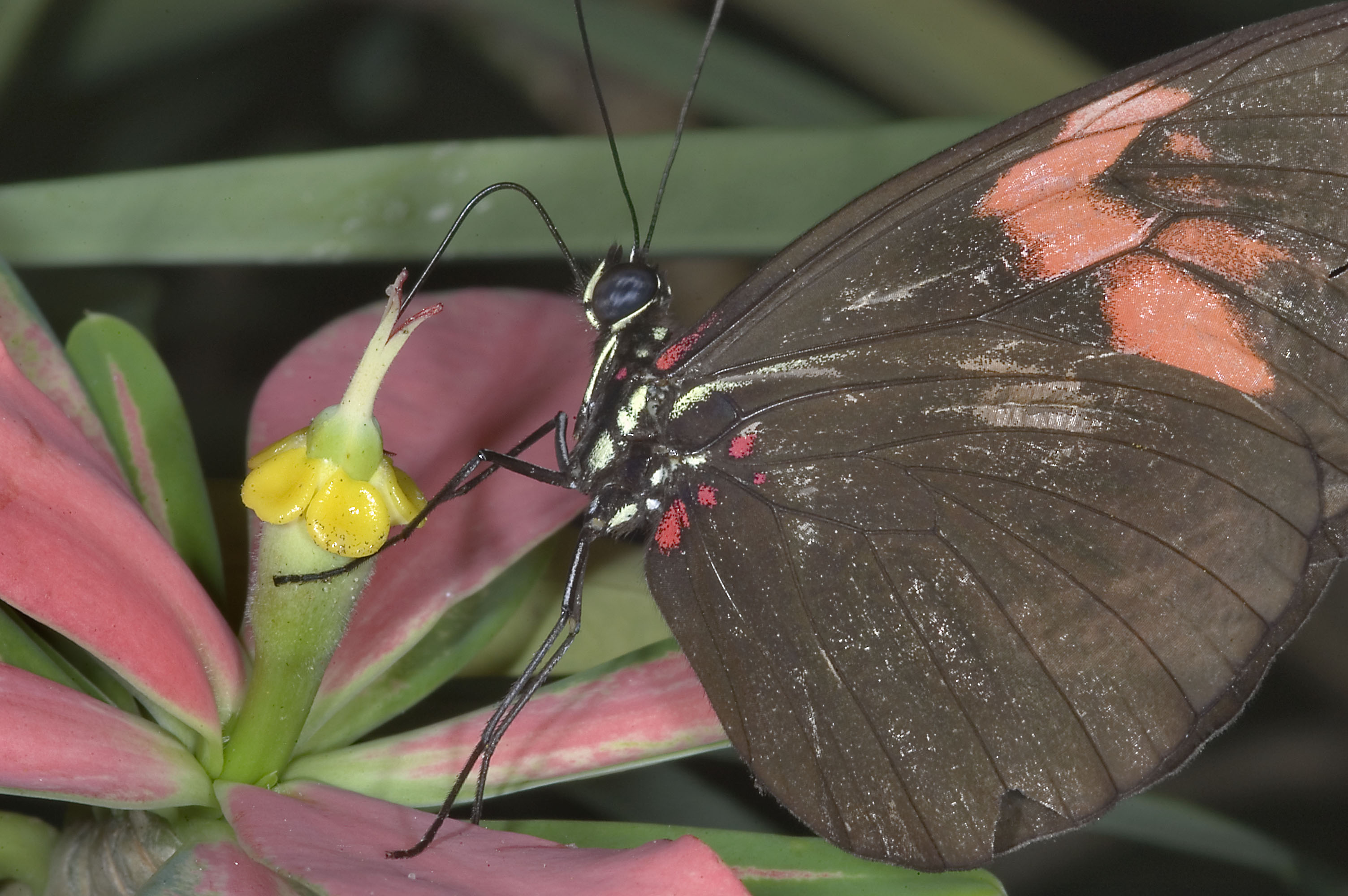 Photo 712-05: Butterfly on a flower of tropical milkweed ...