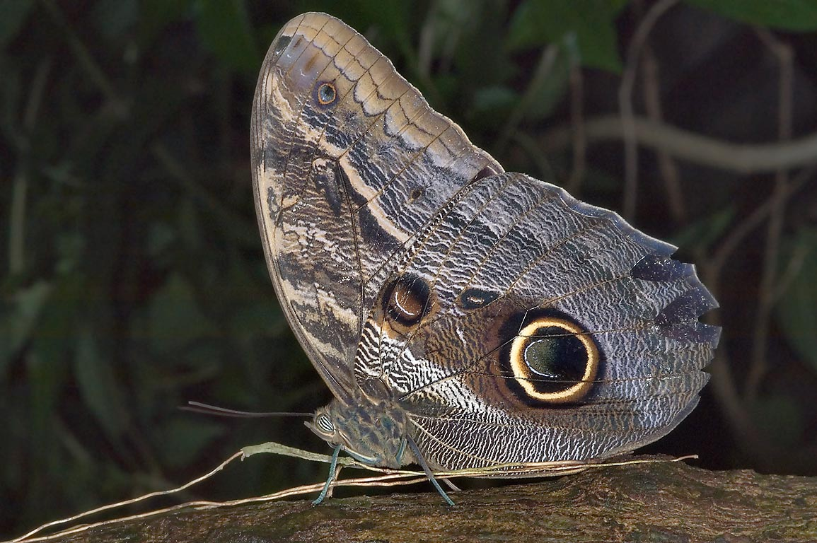 Owl Butterfly (Caligo) with dramatic eyespots on...of Natural Science. Houston, Texas