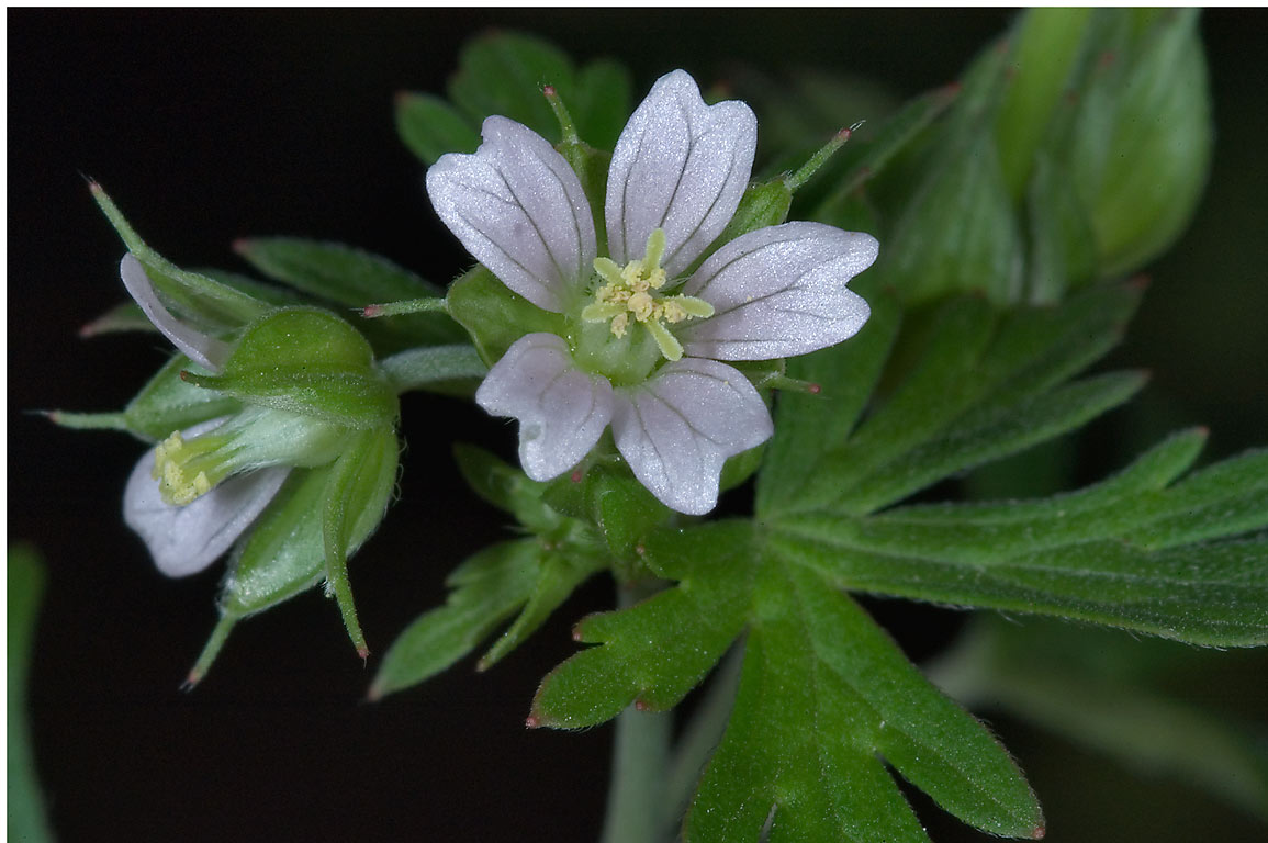 White flowers of crane s bill (Geranium...M University. College Station, Texas