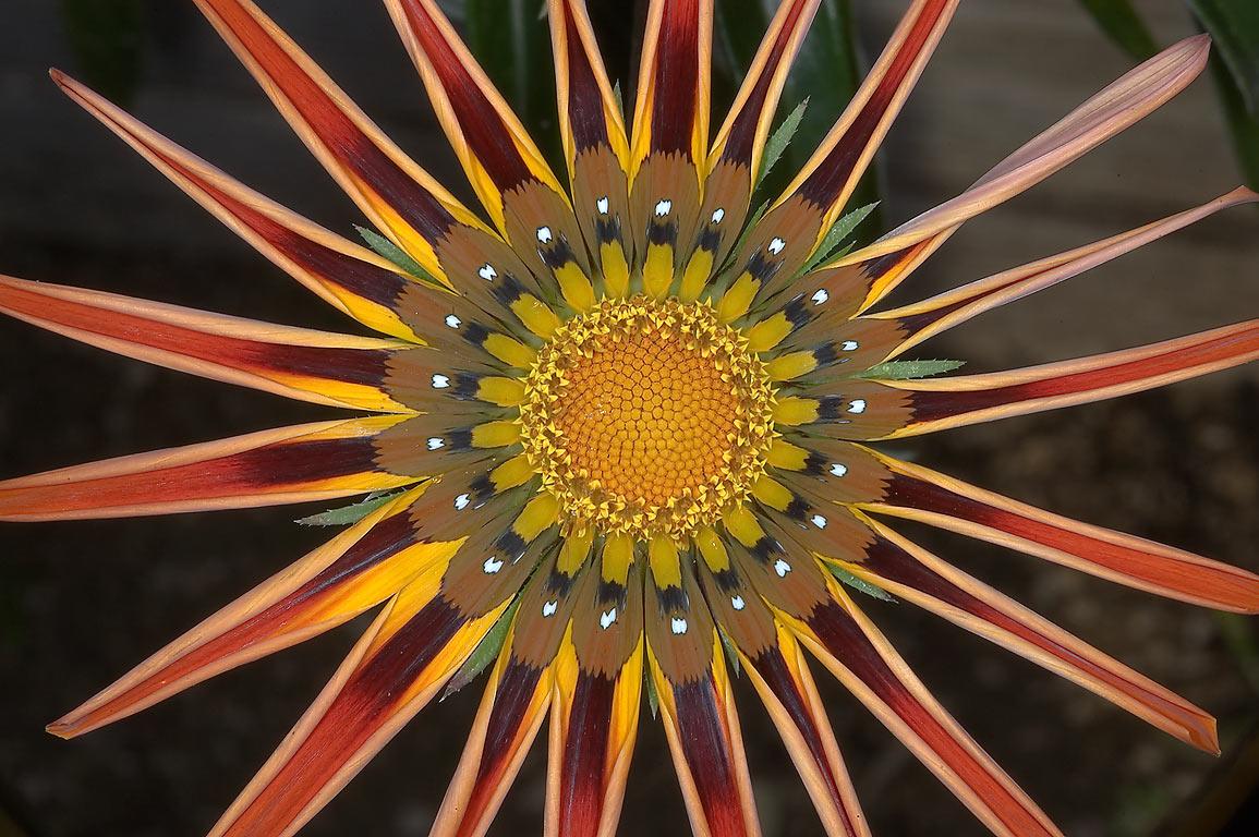 Half closed gazania flower in TAMU Holistic...M University. College Station, Texas