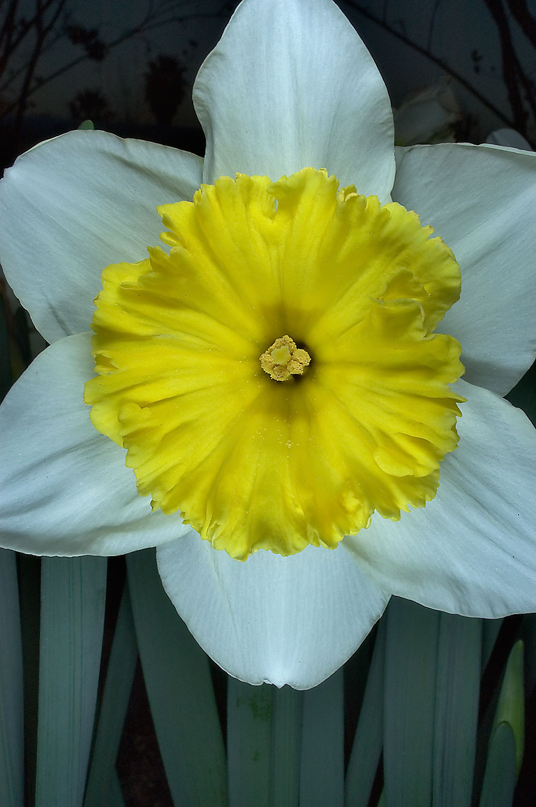 Daffodil (narcissus) close up showing a central...M University. College Station, Texas