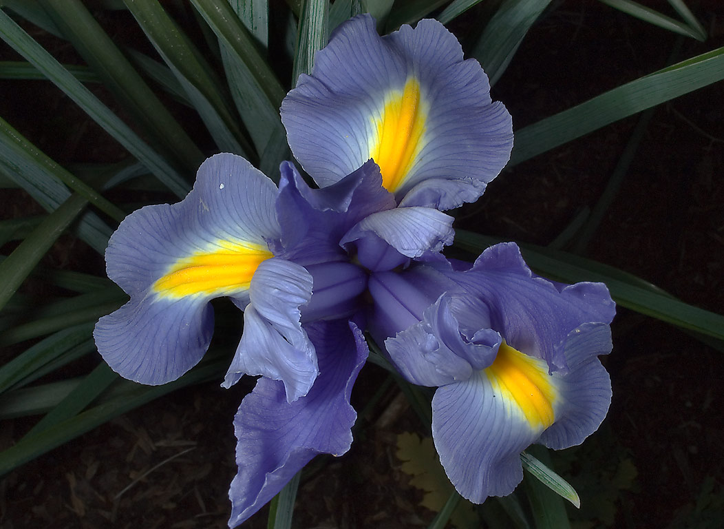 Blue iris (top view) blooming in TAMU...M University. College Station, Texas