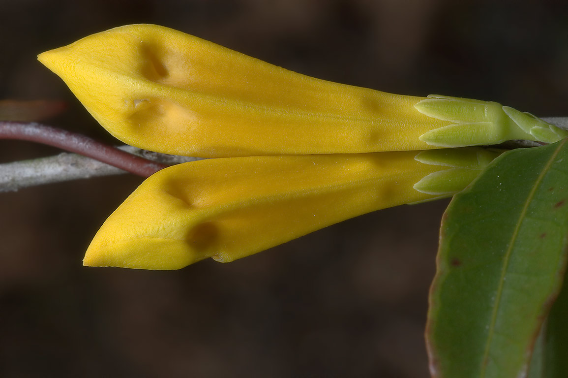 Flower buds of Carolina jessamine (Gelsemium...National Forest. Richardson, Texas