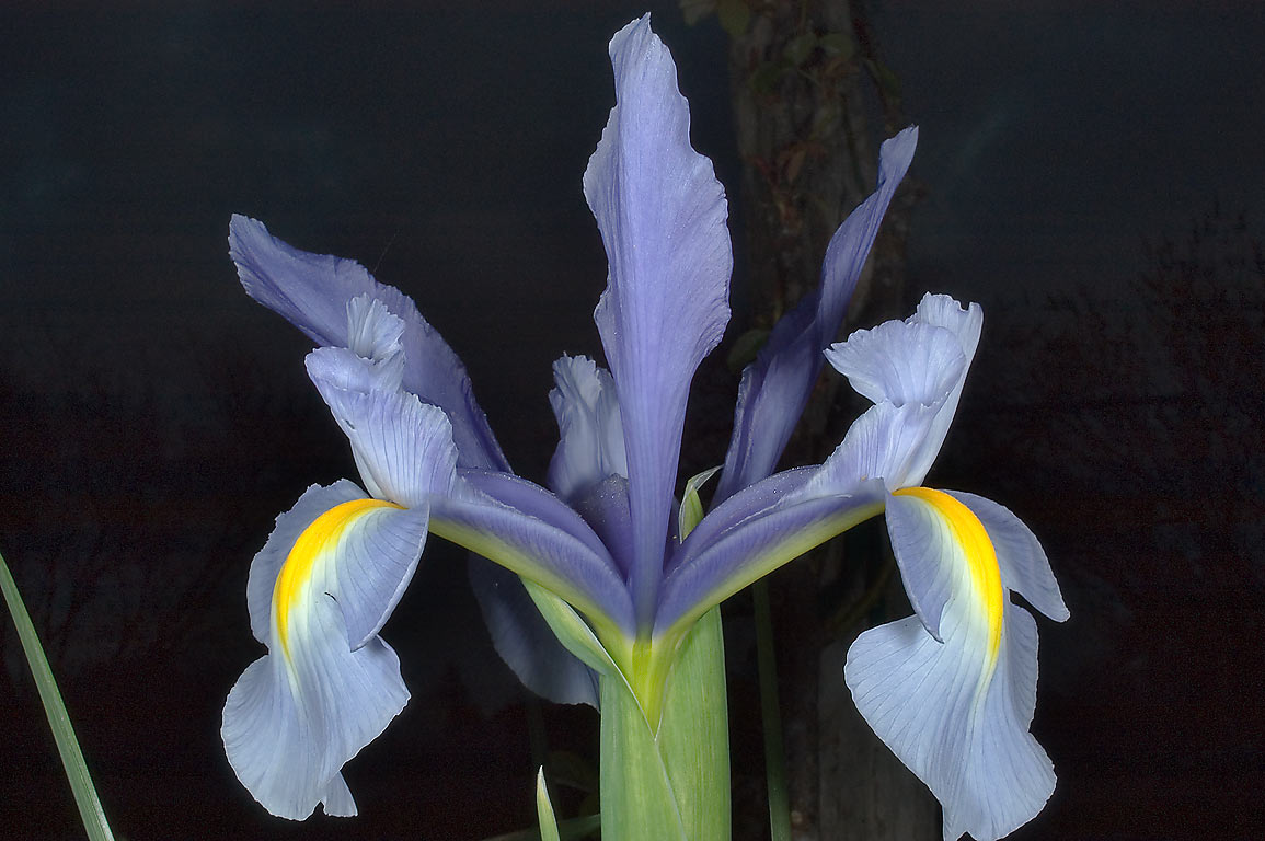 Side view of blue iris flower in TAMU Holistic...M University. College Station, Texas