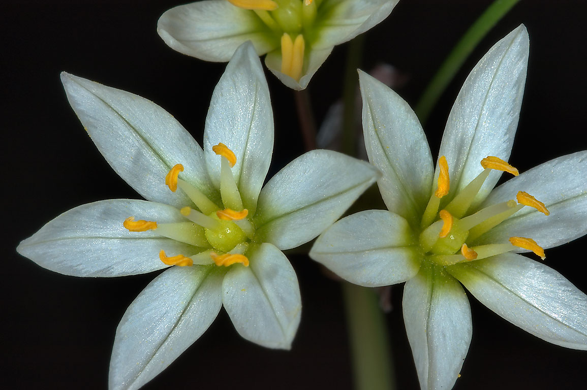 False garlic (crow poison, Nothoscordum bivalve...M University. College Station, Texas