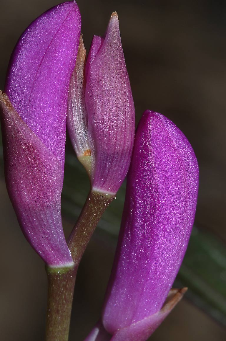 Flower buds of Hyacinth orchid (Bletilla striata...Gardens. Humble (Houston area), Texas