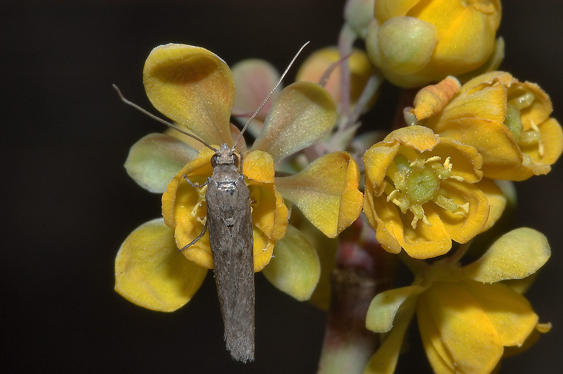 Moth on Agarita (Berberis trifoliolata, Mahonia...A&M University. College Station, Texas