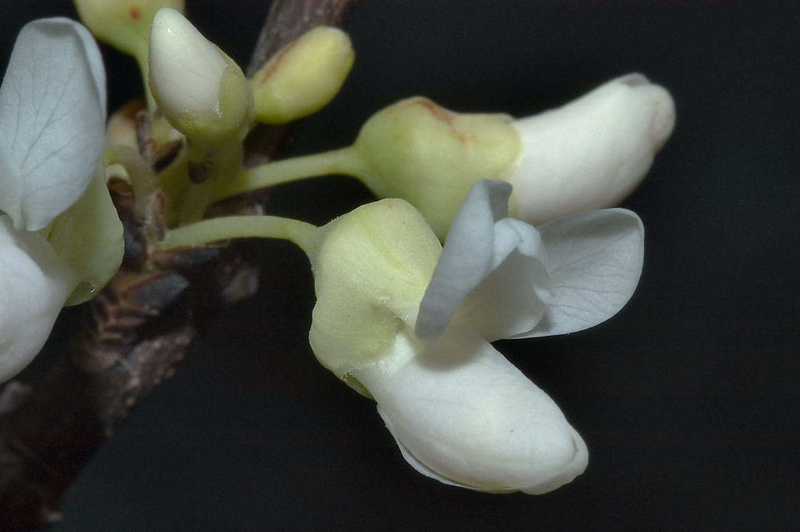 White phenotype of redbud tree (Cercis...A&M University. College Station, Texas