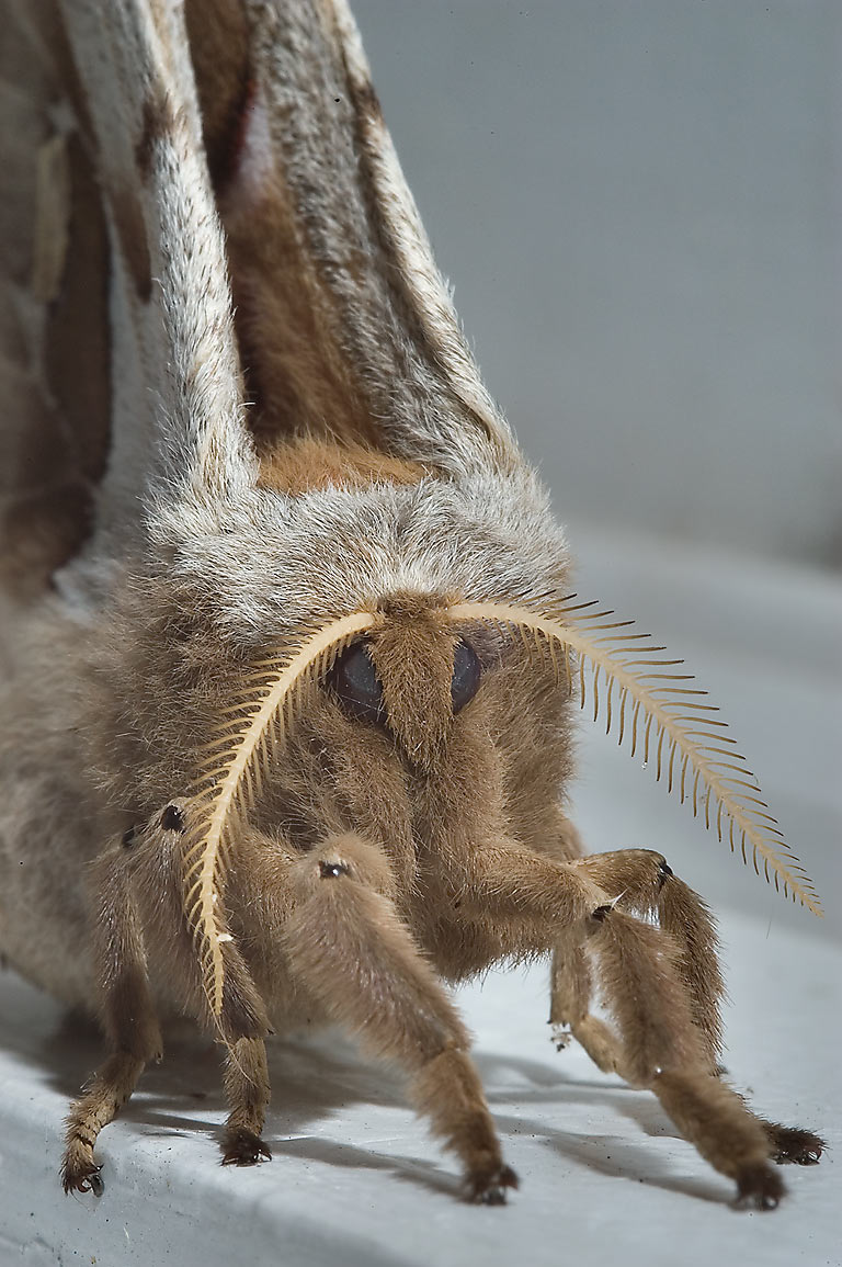 Close-up of Polyphemus moth (Antheraea polyphemus...Bush Dr.. College Station, Texas