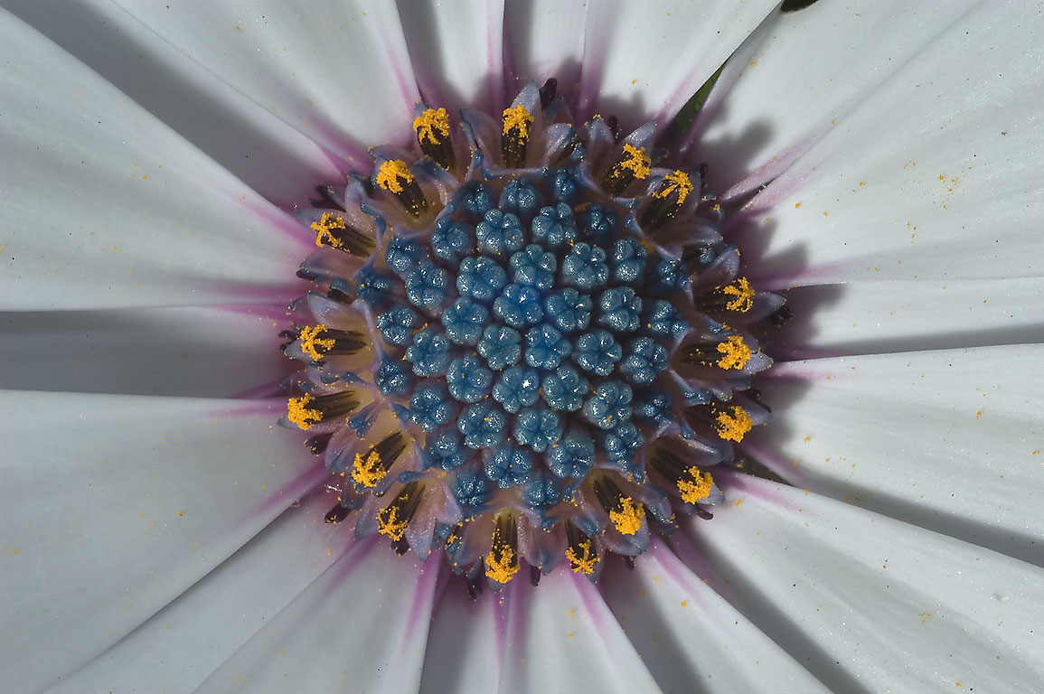 African daisy (Osteospermum) in Antique Rose Emporium. Independence, Texas