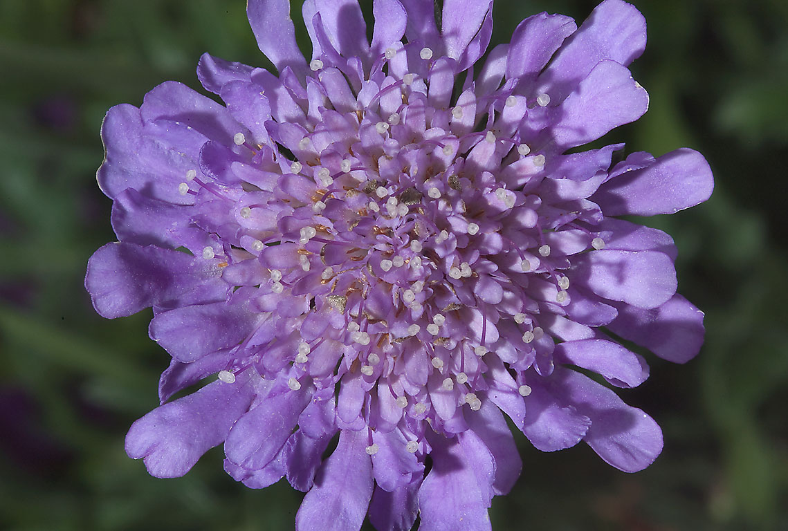 Scabiosa in Antique Rose Emporium. Independence, Texas