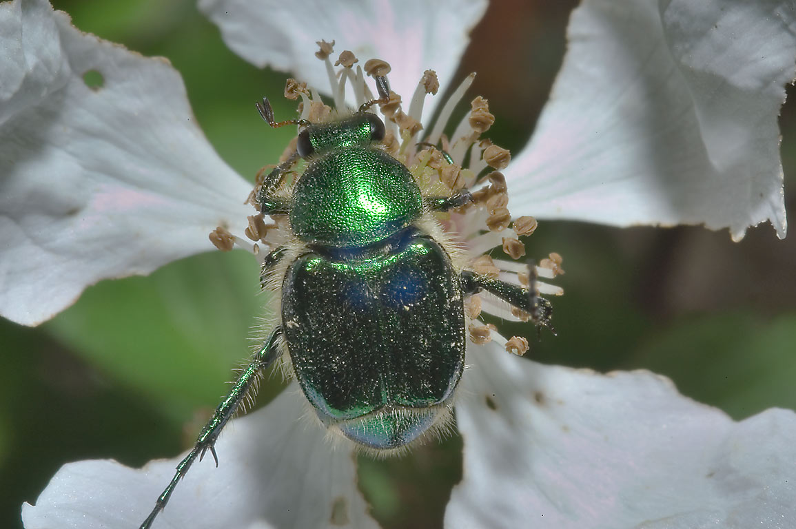 Emerald flower scarab beetle (Metallic green...Creek Park. College Station, Texas