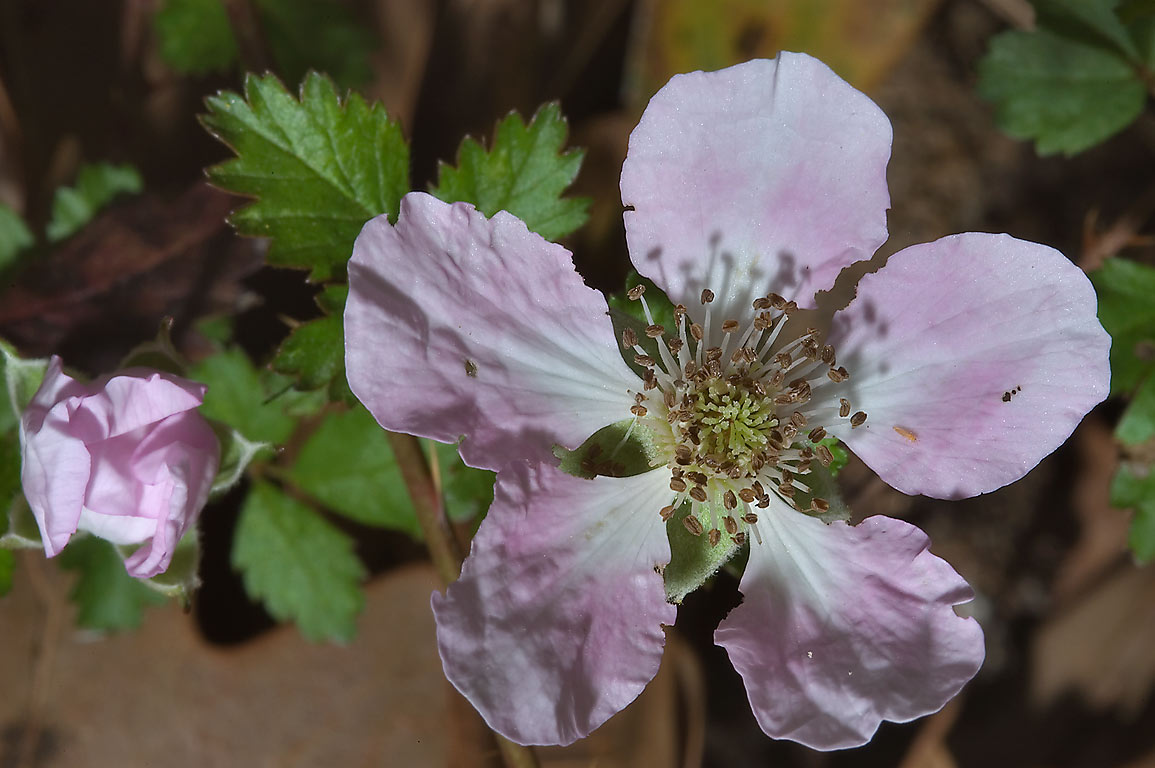 Pink flower of dewberry (rubus) in Lick Creek Park. College Station, Texas