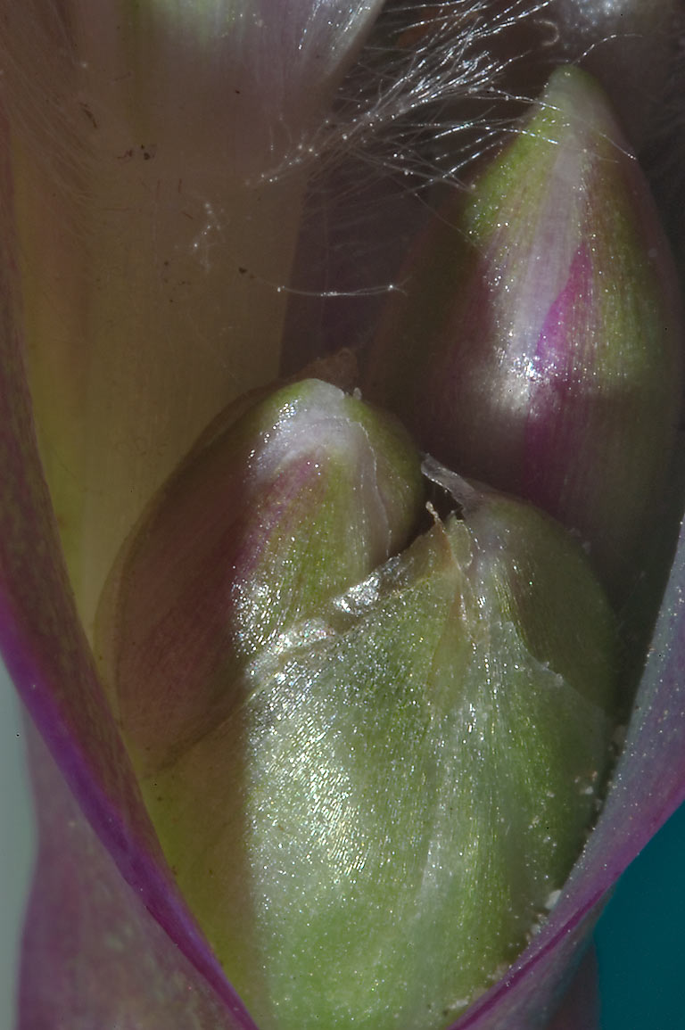 Close-up of Tradescantia pallida buds outside of...Bush Dr.. College Station, Texas