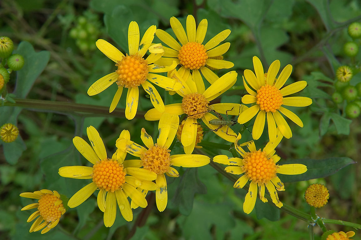 Cutleaf groundsel (butterweed, squaw weed...State Historic Site. Washington, Texas
