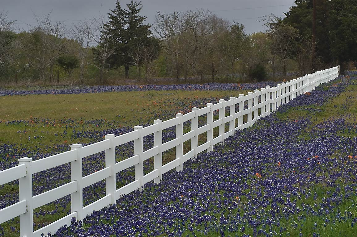 Roadside field of bluebonnets and a white fence...Penn) east from Independence. Texas