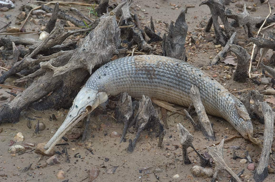 Dead gar fish on south shore of Lake Somerville. Texas