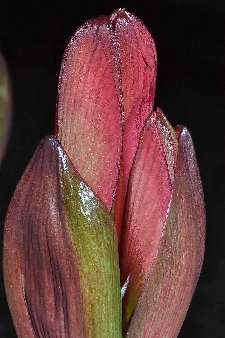 Flower bud of amaryllis in TAMU Holistic Garden...M University. College Station, Texas