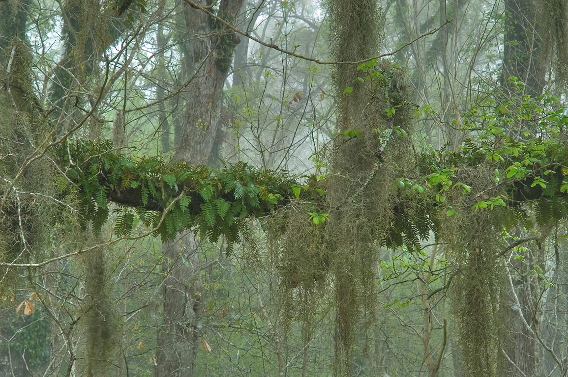 Resurrection fern and Spanish moss on trees near...Park, in fog. College Station, Texas