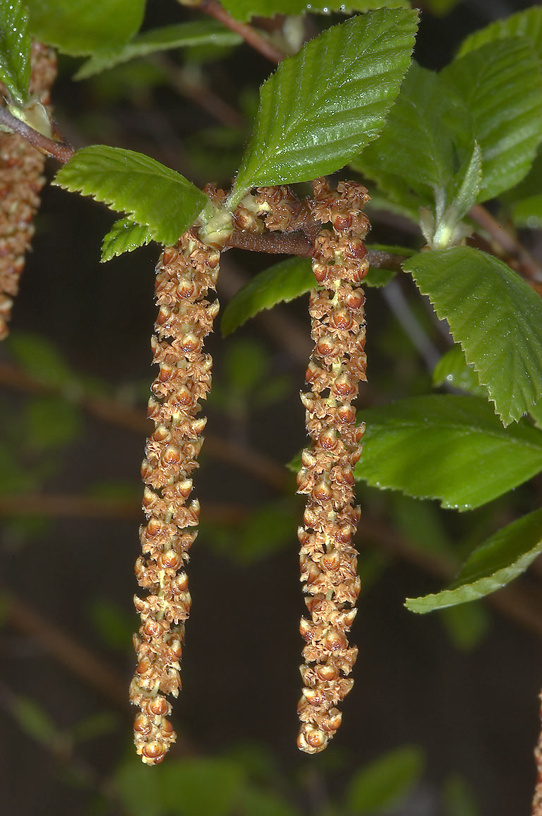 Catkins of river birch (Betula nigra) in TAMU...M University. College Station, Texas
