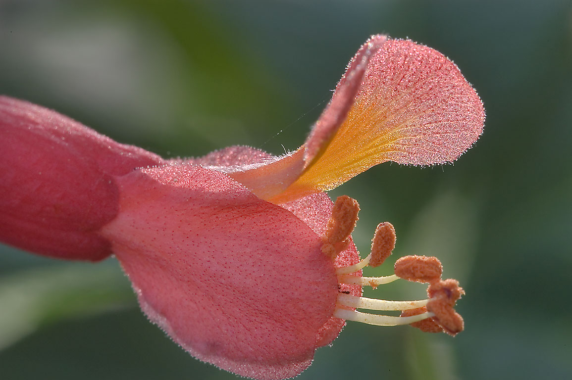 Flower of red buckeye (Southern buckeye, Aesculus...State Historic Site. Washington, Texas