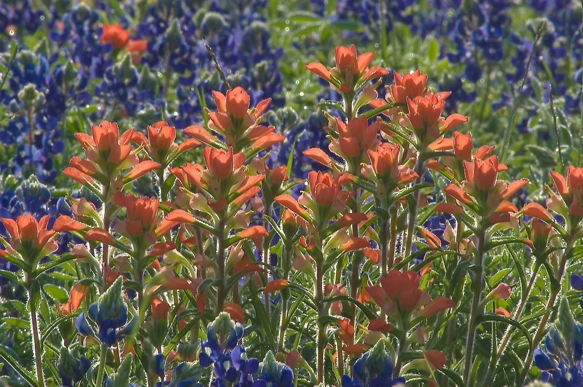 Indian paintbrush (Castilleja indivisa) and...State Historic Site. Washington, Texas