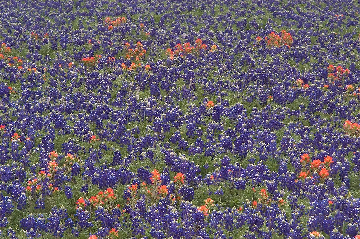 Bluebonnets at Old Washington Town Site Loop...State Historic Site. Washington, Texas