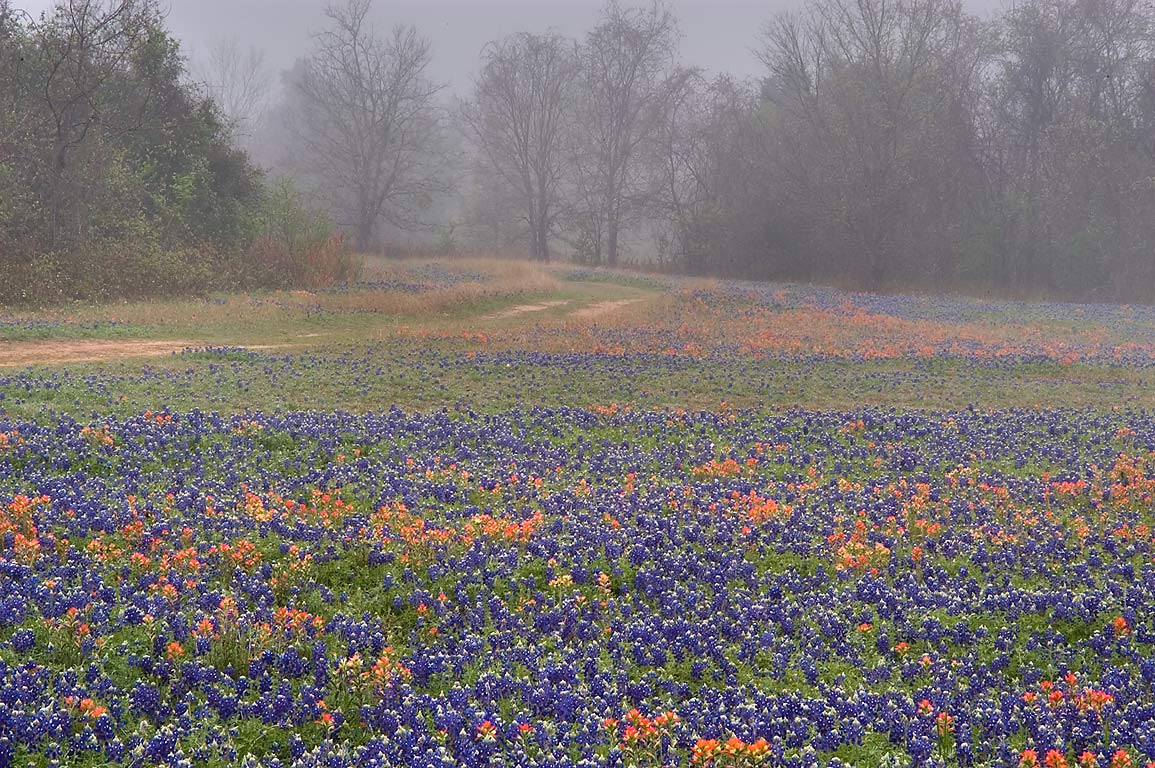 Field of bluebonnets and paintbrush flowers in...State Historic Site. Washington, Texas