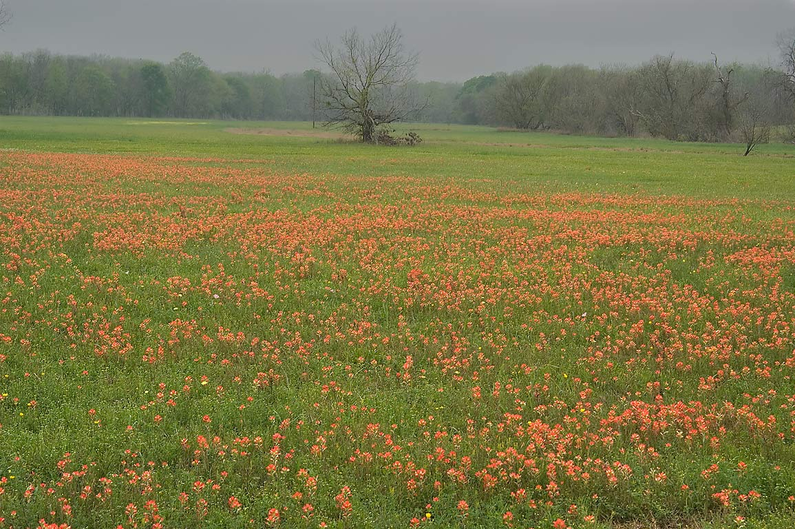 Field of paintbrush flowers on Meyersville Rd., south from Independence. Texas