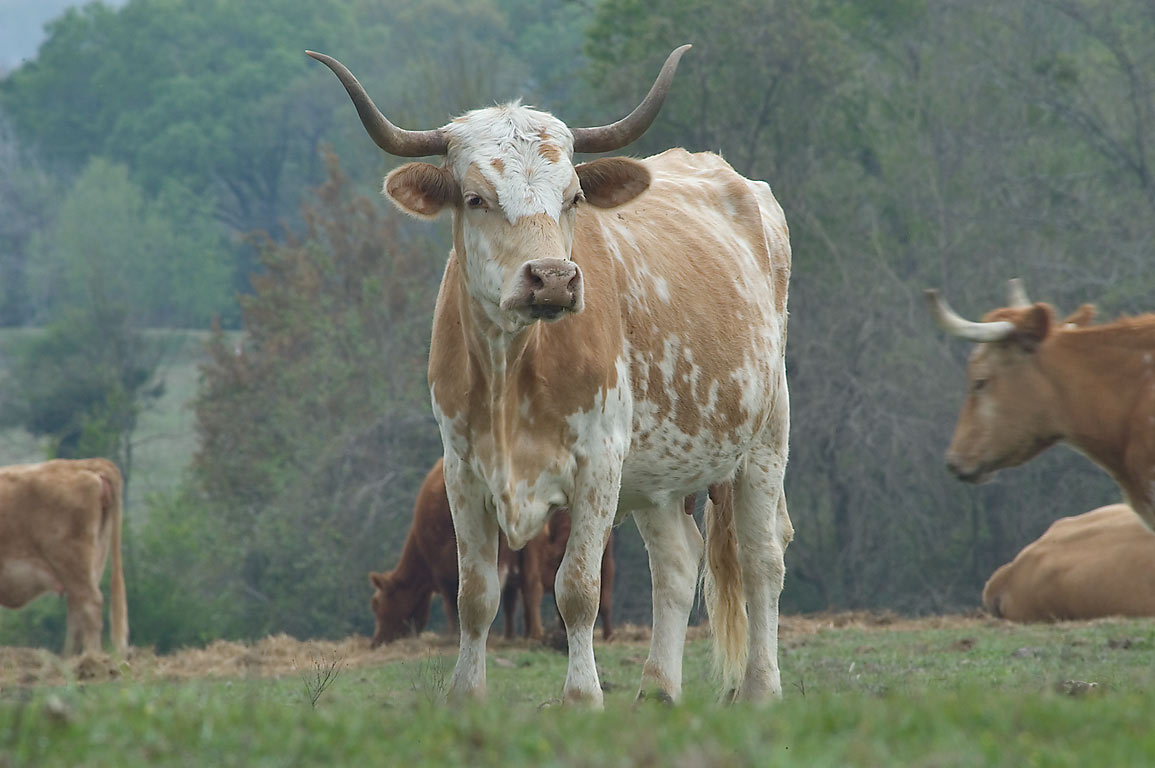 Longhorn cattle on Wedeville Church Rd., south from Independence. Texas