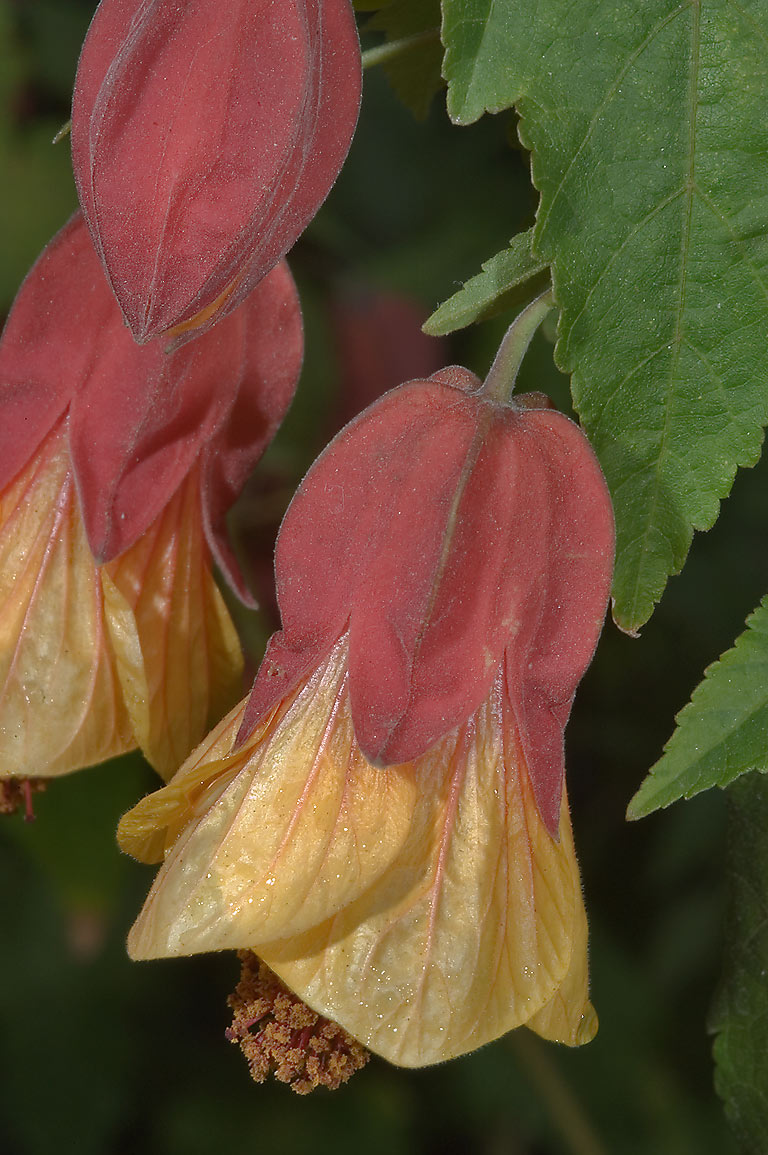 Abutilon megapotamicum (vexillarium) flower in...Rose Emporium in Independence. Texas