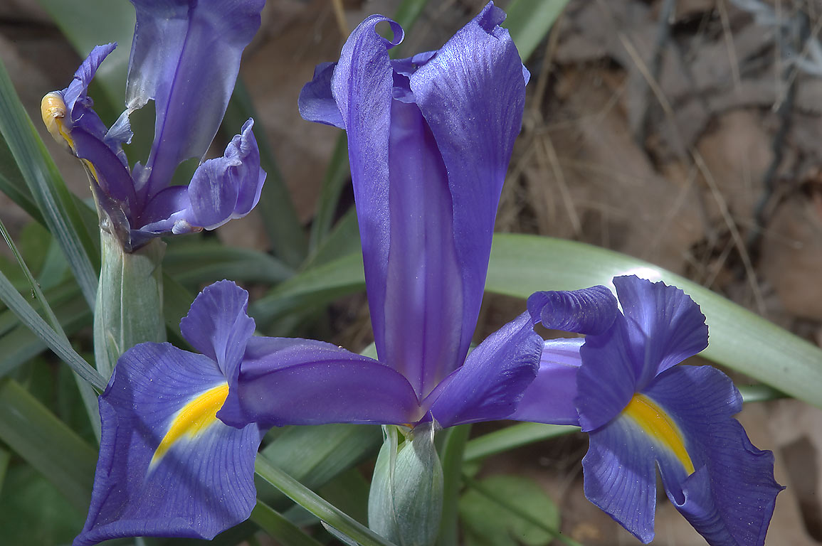 Blue iris flower in Antique Rose Emporium in Independence. Texas