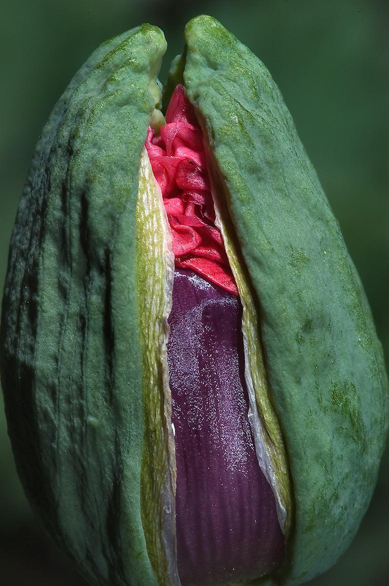 Photo 726 10 Flower Bud Of Red Poppy In Tamu