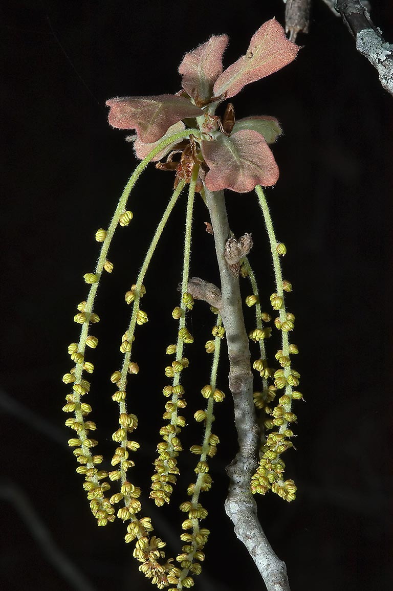 Catkins and young leaves of oak tree on Post Oak...Creek Park. College Station, Texas