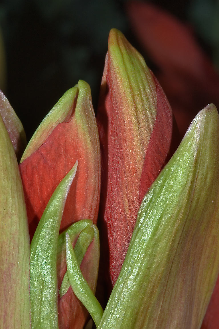 Flower buds of red amaryllis in TAMU Holistic...M University. College Station, Texas